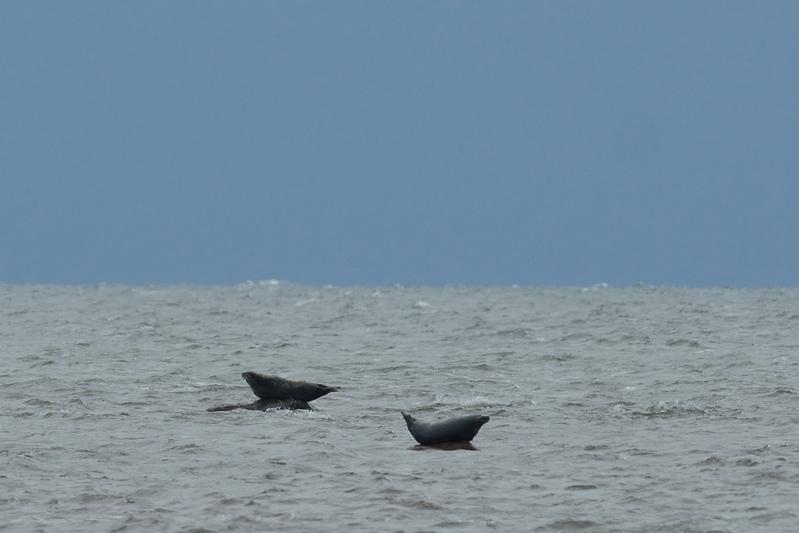 Zeehonden in de Oostzee