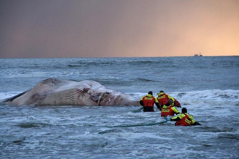 Dode Walvis bij Schevingen