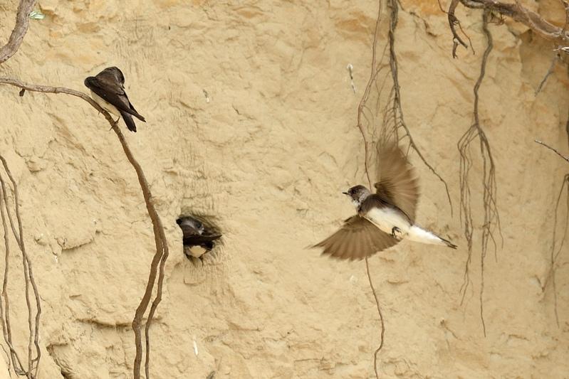 Nestholen van Oeverzwaluwen