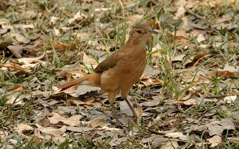 Rufous Hornero / Rosse ovenvogel