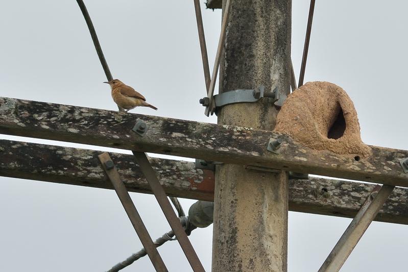 Rufous Hornero (Rosse Ovenvogel)