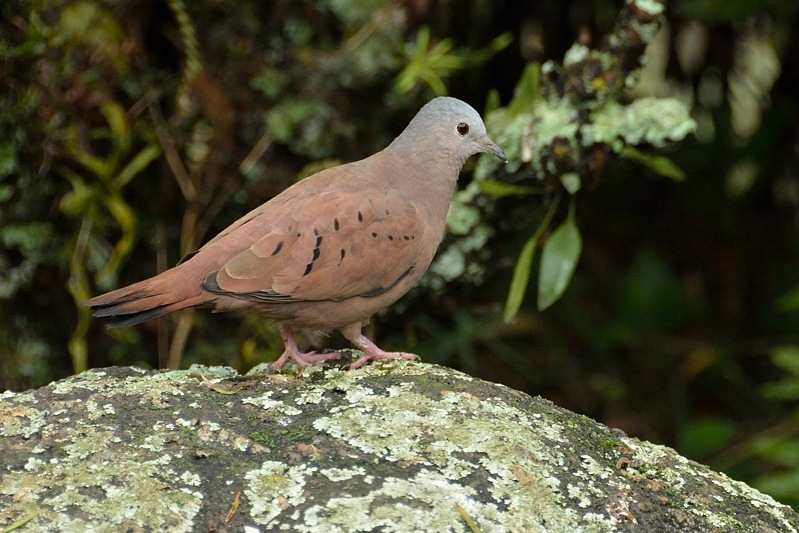 ruddy ground dove (steenduif)