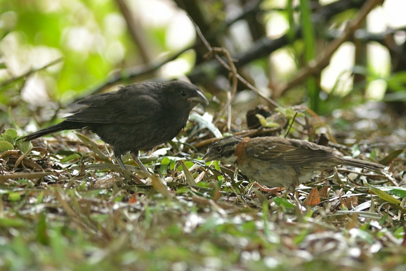 Shiny cowbird with rufous-collared sparrow