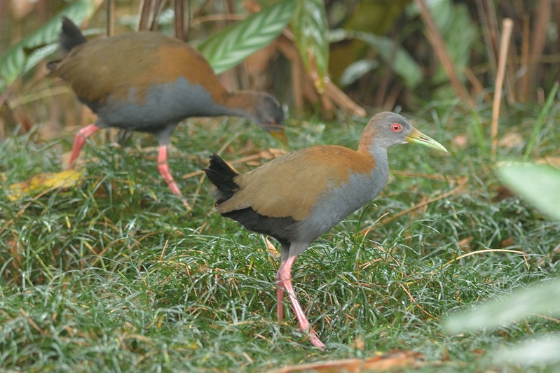 Slaty-breasted wood rail (Vale Bosral)