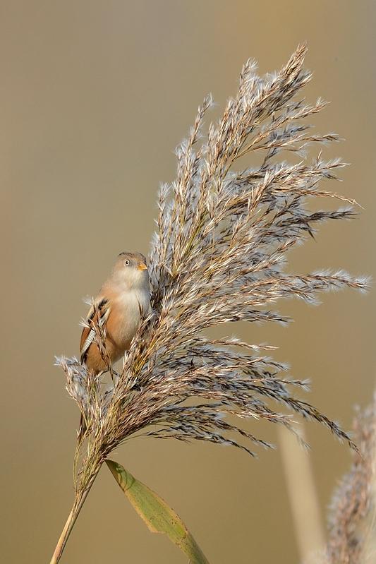 Baardman (vrouwtje)