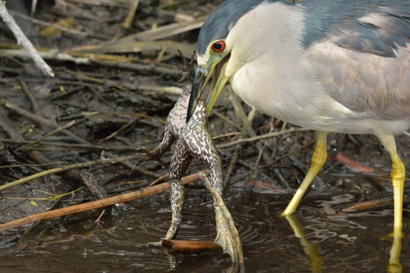 Black-crowned Night Heron and Frog