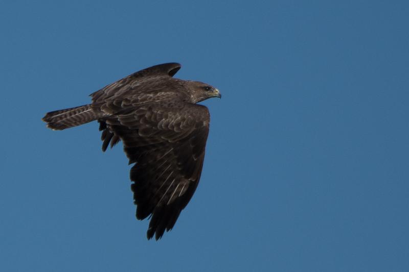 Common Buzzerd (Buizerd)