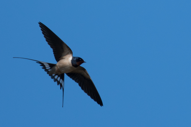 Barn Swallow (Boerenzwaluw)