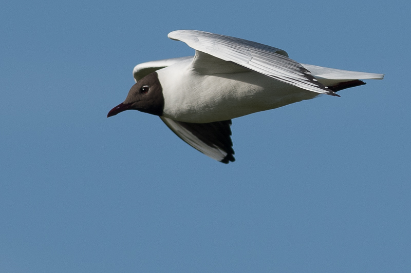 Black-headed Gull (Kokmeeuw)