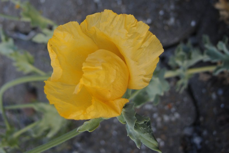 Gele Hoornpapaver
