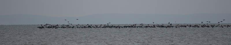 Grote groep aalscholvers