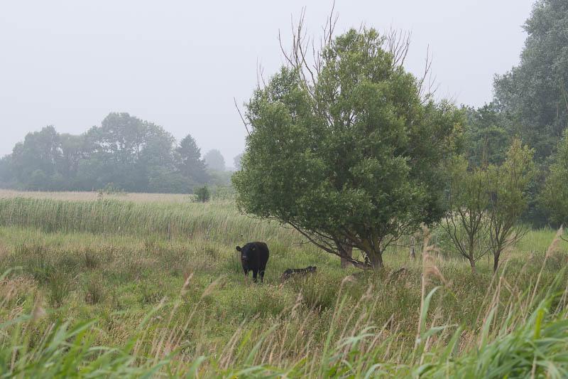 Koeien bij Barsbeker See