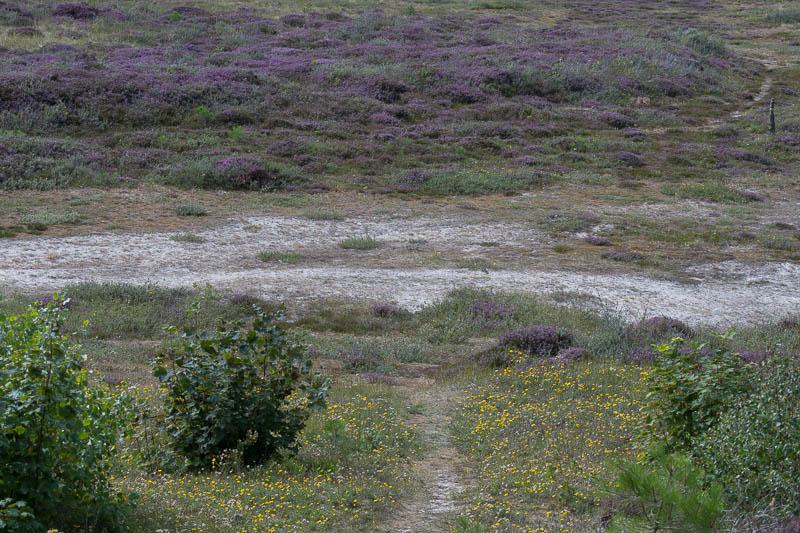Bloeiende Heide op Vlieland